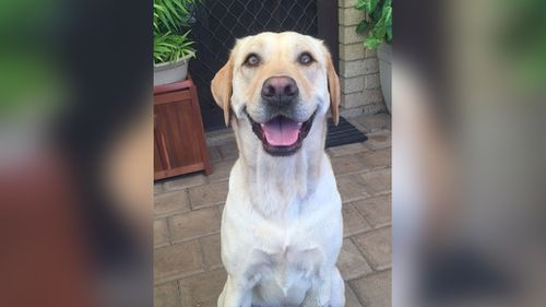 """Labrador """"Luna"""" was allegedly stabbed by a stranger while she was being walked in a Perth park. (WA Police)"""