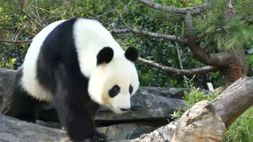 Adelaide Zoo's giant panda Fu Ni could be pregnant after a series of artificial inseminations.