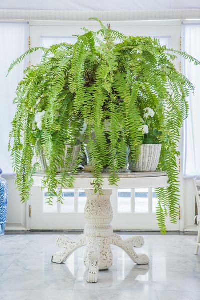 <strong>Boston Fern</strong>