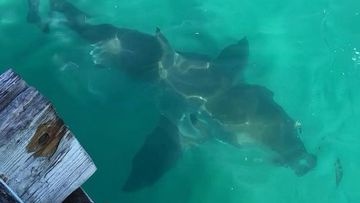 The 2.5m great white shark was photographed swimming around the jetty in Second Valley.