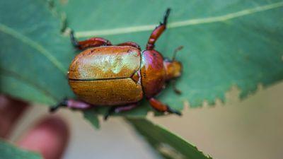 Christmas Beetle mystery