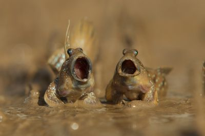 "<strong>Highly Commended: ""Mudskippers Got Talent"" by Daniel Trim</strong>"