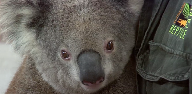 The koala population in Port Macquarie has been particularly hard hit by the fires.