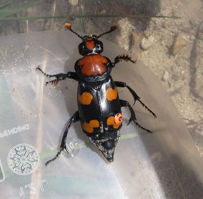 <strong>American burying beetles snuggle</strong>