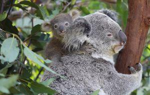 Australian Reptile Park welcomes nine new koala joeys, a record for the conservation program