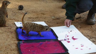 A meerkat gets down to work. (AAP)