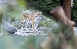 Zoo-keeper fatally attacked by tiger