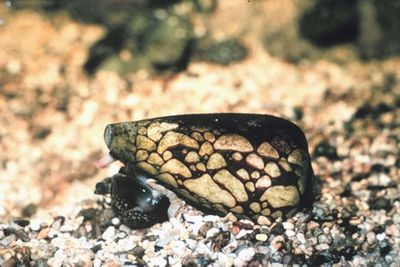 <p>Marbled cone snail</p>