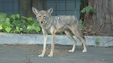 Tyrome Williamson was driving near 9th and L Sunday when he saw three coyotes near the Capitol.