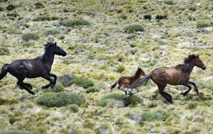 Exploding Brumby numbers blamed for ecological disaster in national parks
