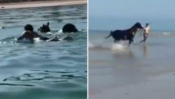 Adelaide Beach runaway horse rescue
