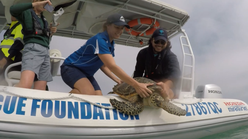 The Department of Environment and Science and SeaWorld have released four turtles into the wild.