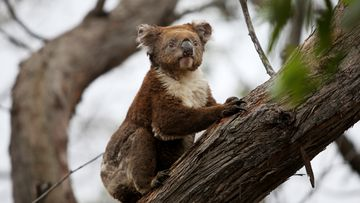 A koala affected by the recent bushfires is released back into native bushland following treatment.