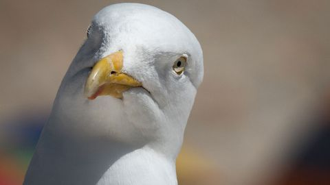 Are UK gulls drunk?