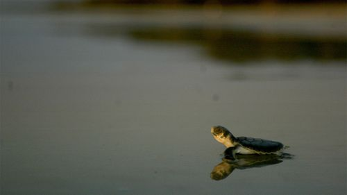 A newly hatched loggerhead turtle makes its way to the ocean.