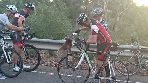Thirsty koala climbs bicycle wheel to grab a drink in Adelaide Hills