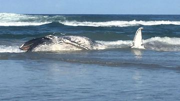 This whale carcass washed up on the beach south of Casuarina yesterday.