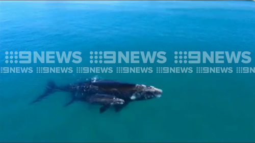 But just moments later she was joined by her one-day-old calf. Picture: 9NEWS