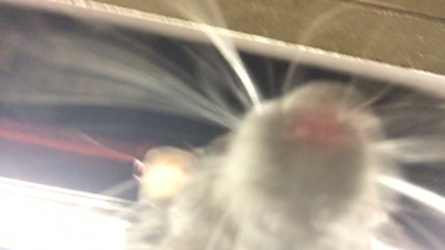 The 'selfie' taken by the rat.