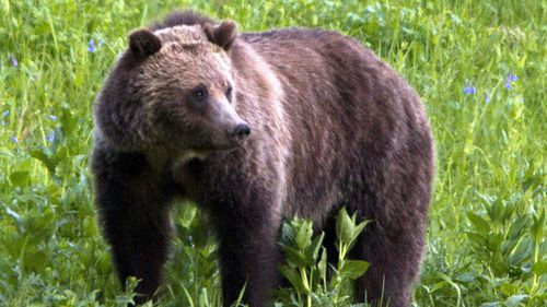 Grizzly bears can weigh as much as 770kg and can be as long as 2m.