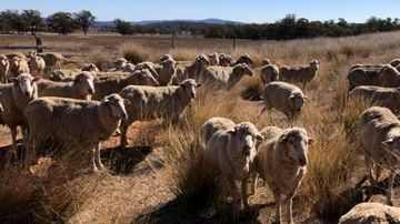 Some drought-hit farmers 'running out of bullets' to put down stock