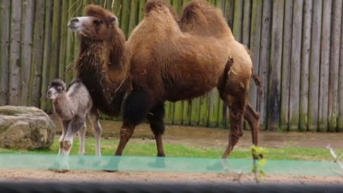Louis the camel was spotted staying close to mum Tibet. (Blackpool Zoo)