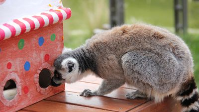 The presents were designed to provide enrichment for the animals.