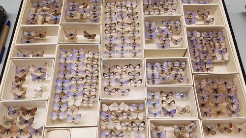 El museo de campo contiene una colección de las extintas mariposas azules Xerces.