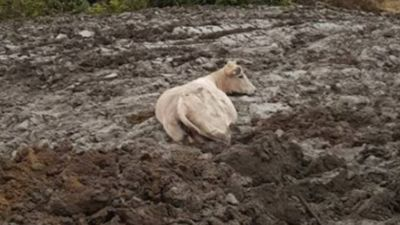'Moo-ve it'! Pregnant cow rescued from thick mud