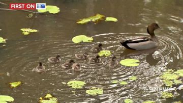VIDEO: Ducklings rescued after being trapped in underground pipe