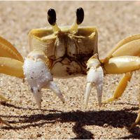 Crabs use teeth in stomach to growl at predators