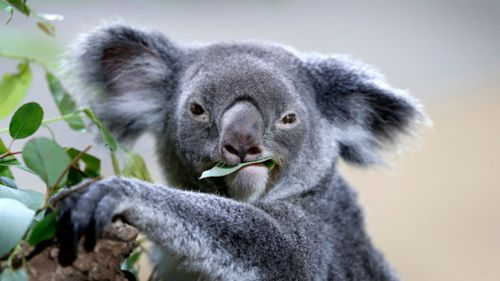 Koalas face threats from habitat loss, dogs and cats, and chlamydia. (AAP file image)