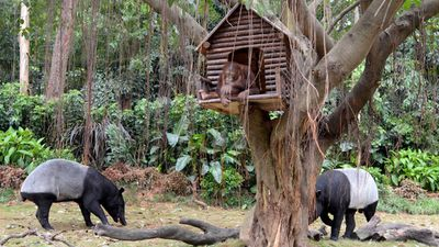 Two Malayan Tapirs graze beneath an orangutan in a treehouse at a park in China's Guangzhou region.