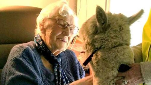 Lifeline Gippsland staff used Harold the alpaca to visit aged care homes and communities at risk of mental health issues. (Facebook)