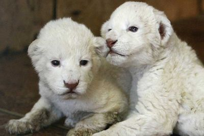 <p>White lion cubs</p>
