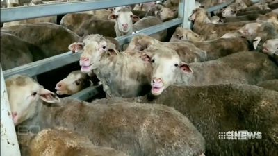 Livestock exporter's licence cancelled after sheep deaths