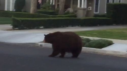 The bear seemed calm and was likely looking for food after waking from hibernation.