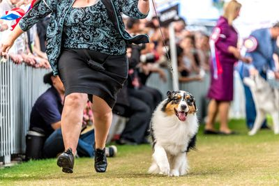 Best in show: Australian shepherd