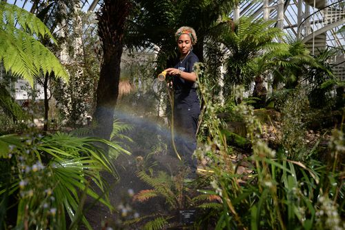 Horticulturalist Emma Love waters foliage in the Temperate House. (AAP)