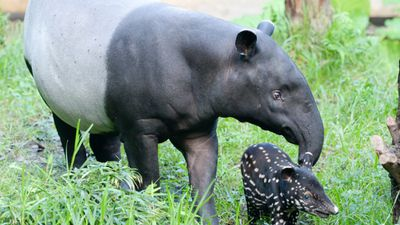 <p>Mother and baby Malayan Tapirs at a zoo in the Germany city of Leipzig. </p><p>Malayan Tapirs have distinctive white backs. </p>