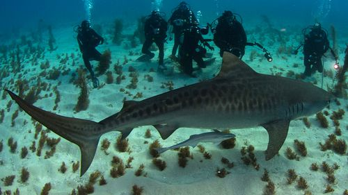A tiger shark with a group of divers at Tiger Beach in the Bahamas.