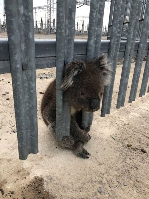 It's not clear how the little guy came to be stuck in the fence. Picture: 9NEWS
