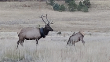 The massive bull elk had been wandering the hills with a car tire around its neck for at least two years.