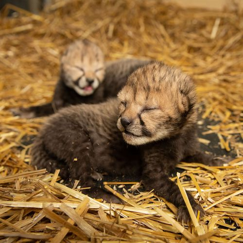 Cheetahs born using IVF in Ohio
