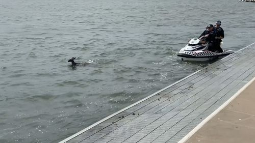 Police attempted to help rescue a kangaroo that was swimming in Canberra's Lake Burleigh Griffin yesterday.