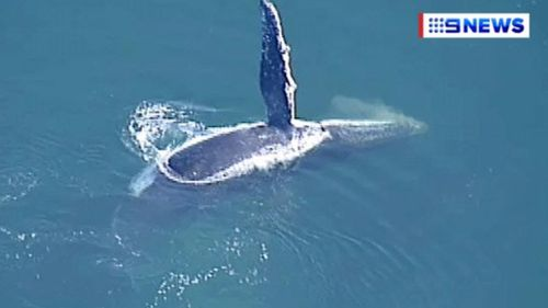 The 9NEWS choppercam enjoyed a friendly hello from the whale.