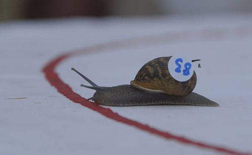 Snails must race 30cm to cross the finish line to be crowned winner. Image: Supplied