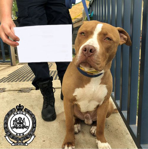 A Penrith man was this month charged with five separate incidents of cruelty which included  whipping, dragging, kicking, punching, and throwing Hercules (pictured), a white and tan Staffordshire terrier, in his care.