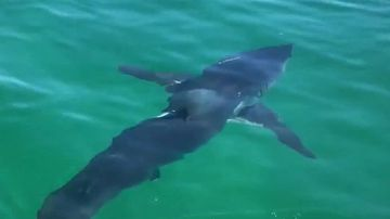 The shark had a large, deep gash down the left side of its body.