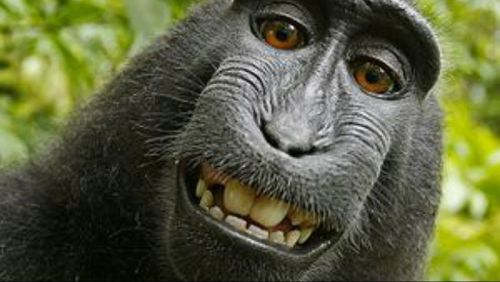 Wikimedia refuses to delete macaque monkey selfie